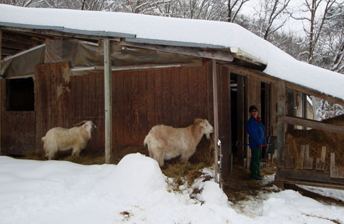 Goats-snowed-in2010