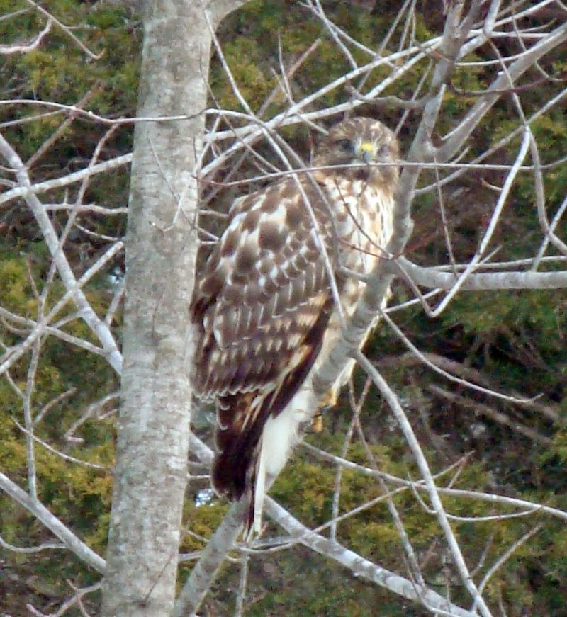 Hawk in tree by kitchen window1